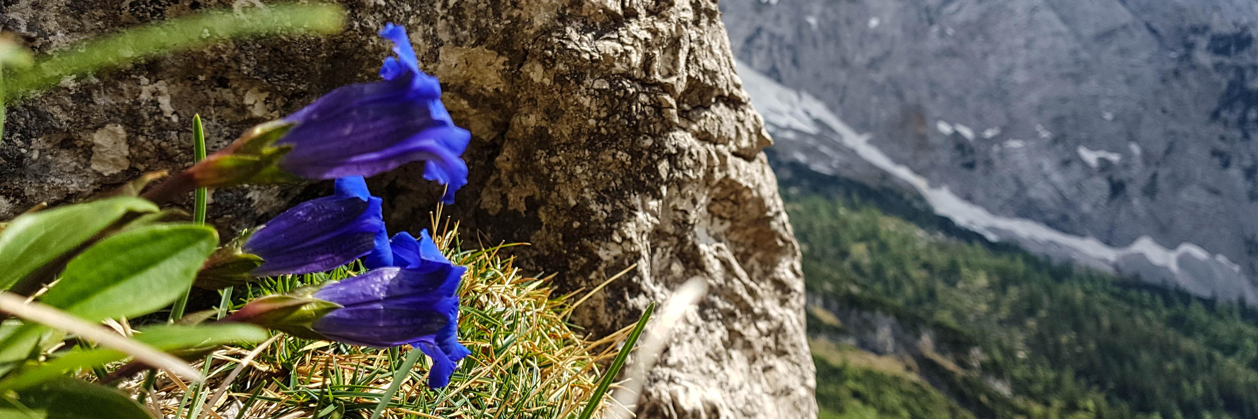 Enzian Blume Wilder Kaiser, Mehrseillängen Klettern